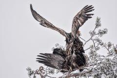 Mating Golden Eagles Stock Image