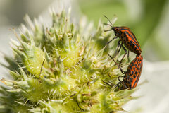 Mating of Graphosoma italicum coleopterons Stock Images
