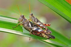 Mating Grasshopper Stock Photo