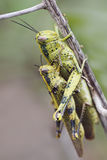 Mating grasshopper Royalty Free Stock Image