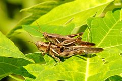 Mating Grasshopper Royalty Free Stock Photography