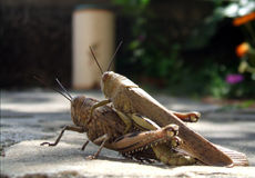 Mating grasshoppers Stock Image
