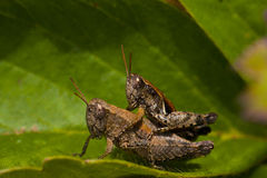 Mating grasshoppers Stock Photo
