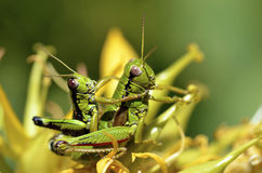 Mating grasshoppers. Macro mating grasshoppers on gentiana lutea flower Royalty Free Stock Photos