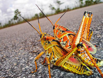 Free Mating Grasshoppers Stock Photography - 4995442