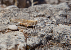 Mating grasshoppers Royalty Free Stock Images