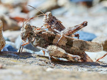 Mating grasshoppers Stock Photography