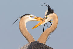 Great Blue Herons. Head and shoulder shot of two great blue herons exchanging nesting material on a clean blue background Stock Image
