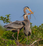 Mating Great Blue Herons in spring in Florida Stock Photos