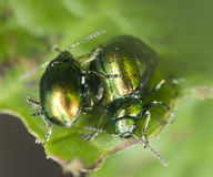 Mating Green dock beetles, Gastrophysa viridula Stock Photos