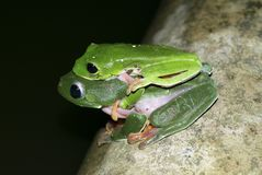 Mating green frogs stock photos