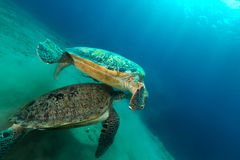 Mating green turtles in the Red Sea. Stock Photography