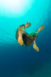 Mating green turtles in the Red Sea. Stock Photo