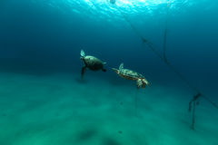 Mating green turtles in the Red Sea. Royalty Free Stock Image