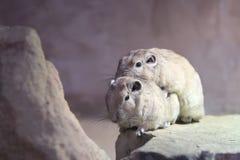 Mating gundi. Mating couple of gundis on the rock stock photos