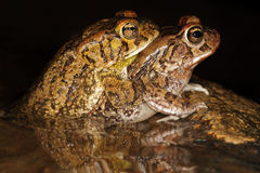 Mating guttural toads stock photo