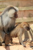 Mating hamadryas baboons Royalty Free Stock Photo