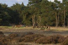 Mating herd of red deer. In the National Park De Hoge Veluwe, Netherlands Royalty Free Stock Images