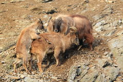 Mating himalayan tahrs Royalty Free Stock Photos
