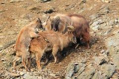 Mating himalayan tahrs. The mating himalayan tahrs on the rock Royalty Free Stock Photos