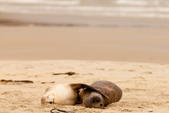 Mating Hookers sealions taking a nap on beach. Mating male and female Hookers sealions, Phocarctos hookeri, or whakahao, together taking a nap on sandy beach Royalty Free Stock Photography