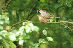 Mating house sparrows Royalty Free Stock Photo