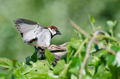Mating House Sparrows Stock Photography