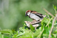 Mating House Sparrows Stock Images