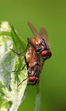 Mating housefly Stock Images