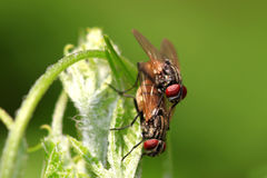 Mating housefly Royalty Free Stock Images