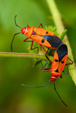 Mating Insects. Orange insects are mating in garden Royalty Free Stock Photography