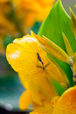 Mating insects. Close up of two insects mating on yellow canna flower petal with green leaves Royalty Free Stock Photography