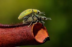 Mating insects. A couple of insect mating on a plant Royalty Free Stock Images