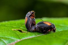 mating insects. Macro photography showing a close up view of beauty flora and fauna Royalty Free Stock Images