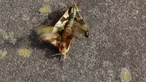 Mating insects. Male dragging female away. A couple of butterflies moths copulating on the ground and male is pulling female away stock video