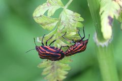 Mating Italian striped-bug, Minstrel bug. Mating Italian striped-bug, known also as the Minstrel bug Graphosoma lineatum Stock Image