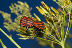 Mating Italian Striped-Bugs Stock Image