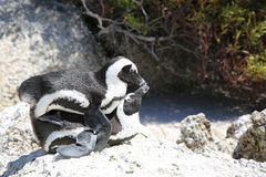 Mating Jackass Penguins. (Spheniscus demersus) at Boulders Beach. Simon's Town. South Africa Stock Images