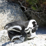 Mating Jackass Penguins. (Spheniscus demersus) at Boulders Beach. Simon's Town. South Africa Royalty Free Stock Image