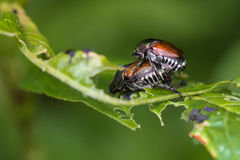 Mating Japanese Beetles Stock Photography