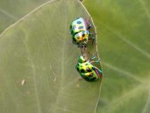 Jewel Bugs. Mating of Jewel Bugs stock photos
