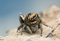 Mating jumping spiders, Evarcha falcata Stock Images