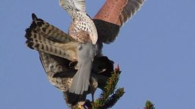 Mating kestrels, falco tinnunculus stock video