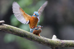 Mating Kingfishers. On a branch Stock Photography