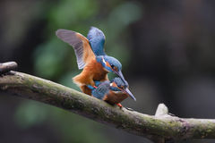 Mating Kingfishers. On a branch Royalty Free Stock Photos