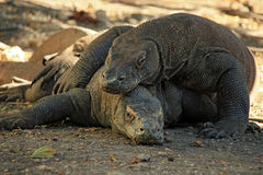 Mating Komodo Dragons Stock Photos