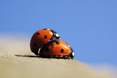 Mating lady bug. In spring royalty free stock photography