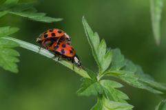 Mating lady bugs (Coccinellidae) Royalty Free Stock Images