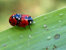 Mating lady bugs Stock Photography