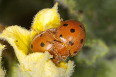 Mating Ladybirds Royalty Free Stock Image